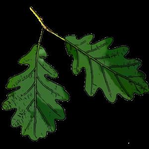 Eichenblatt Eichen Blatt