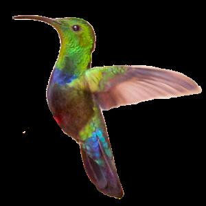 Geschenkidee Foto Kolibri im Flug