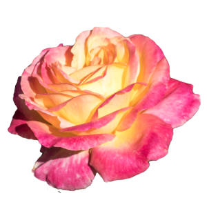 Geschenkidee Foto einer Rose