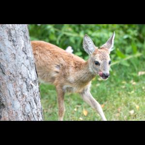 Deer Fawn (Capreolus capreolus, Reh, Kitz, Rehkitz