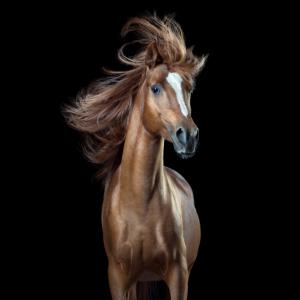 """Lustige Pferde: Araberhengst """"Captain Fantastic"""""""