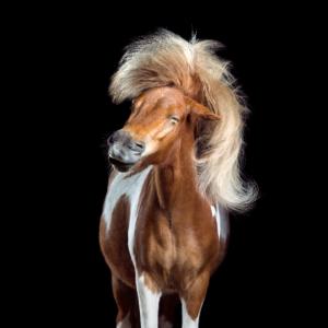 "Lustige Pferde: Shetland Pony ""Great Music"""
