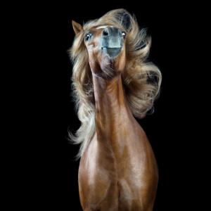 "Lustige Pferde: Welsh A ""Prince Valiant"""