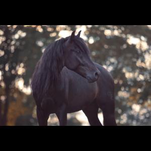 Pferdeportrait Andalusier vor Herbstbäumen