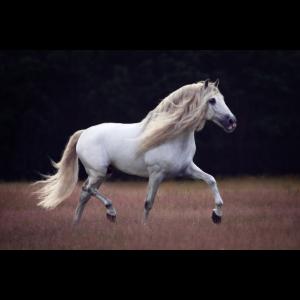 Pferd mit langer Mähne trabt auf Weide (PRE)