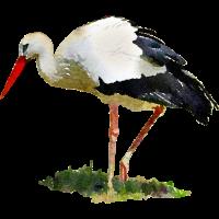 storch vogel