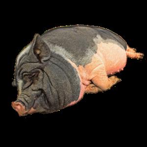 Schlafendes Hängebauchschwein , freigestellt