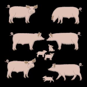 Schwein Auswahl