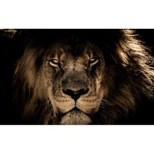 Lion face predator look wildlife 2880x1800 Convert