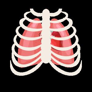 Brustkorb - Anatomie - Medizin - Organe