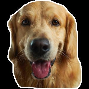 Porträt eines schönen golden retriever #dog