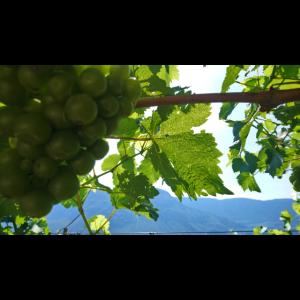 Weinrebe Südtirol