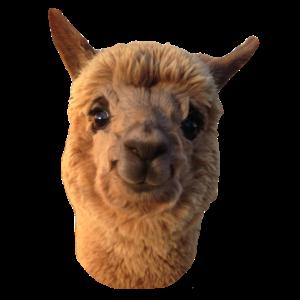 Simona unser Smiling Alpaca