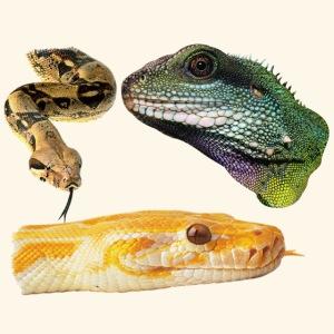 Snakes Reptiles & Iguana Lizard