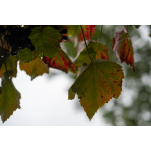 Blätter einer Rebe