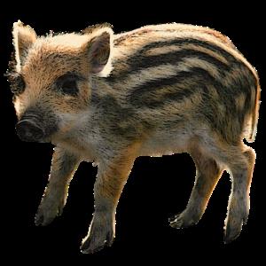Frischling, Wildschweine, Tierbabies