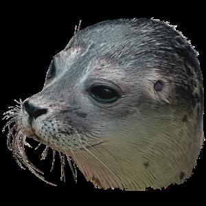 Seehund Leinwand, Tier Freund, Wassertier