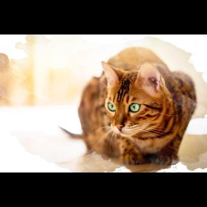 Malerisch Bengal Katze