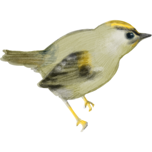 Goldhähnchen_Kleiner Vogel
