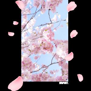 Japan - Kirschblüten