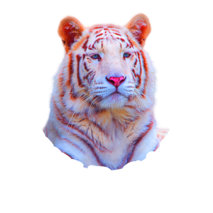 Tiger wild cat Tigerkopf Tier Geschenk