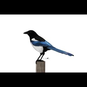 jz.birds Elster Vogelmotiv Wanddekoration