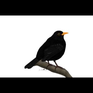 jz.birds Amsel Vogel Illustration Dekoration