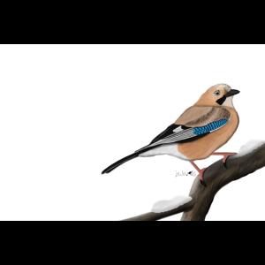 jz.birds Eichelhäher Vogel Illustration Dekoration