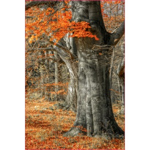 Farbenfroher Herbstwald alte Bäume