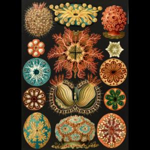 Ernst Haeckel - Ascidiae. Um 1900.