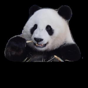 Panda, Pandabär, Bär