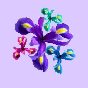 bunte Schwertlilien, Iris Blumen, Blüten, floral