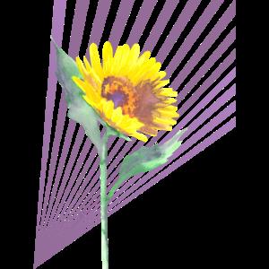 Sonnenblume mit lila Streifen