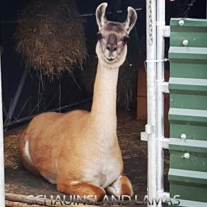 Lama Fidelia von den Schauinsland Lamas