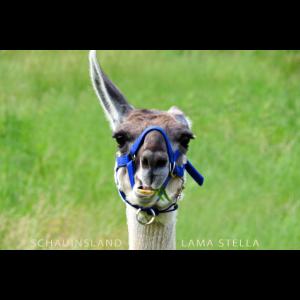 Lama Stella von den Schauinsland Lamas