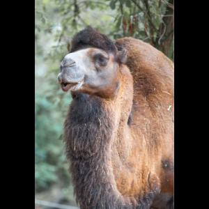 Bactrian camel in german Trampeltier