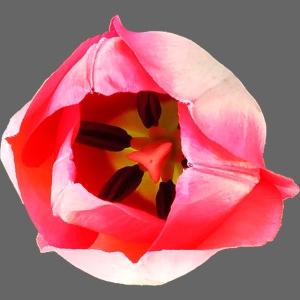 TIAN GREEN Garten - Tulpe 2020 01