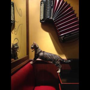 Katze mit Akkordeon
