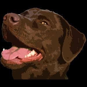 Labrador Retriever, illustration