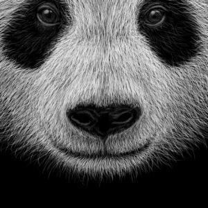 Coole Panda Illustration Lässige Pandabär Kunst