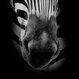 Zebra Gesicht