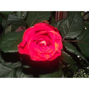 Rosenblume