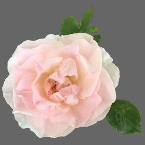 Ruusu Morden Blush