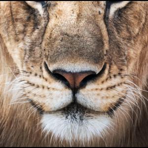 Großer Löwenkopf Gesichtsmaske Maske Kinnriemen
