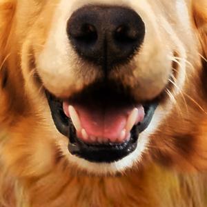 Hund Gesichtsmaske Retriever Zähne Labrador