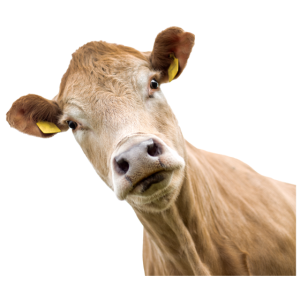 Kuh. cow.