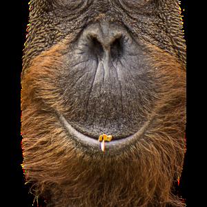 OrangUtan hat die Ruhe weg.