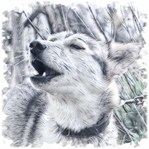 Jaulender Husky