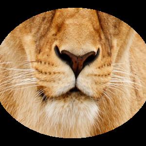 Löwin Gesichtsmaske