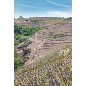 Côtes Roties Weinberge im Frühjahr